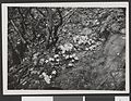 Blaaveis. Yoldia i Alnus incana-krat 1927 - no-nb digifoto 20150925 00117 bldsa HRH01 118.jpg
