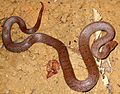 Black-barred Khuri Snake Oligodon cinereus.jpg