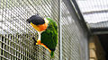 Black-headed parrot (Pionites melanocephalus) (2).jpg
