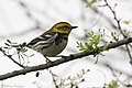 Black-throated Green Warbler ( ?? first winter male ) Mission TX 2018-03-01 08-20-00-4 (39913299814).jpg