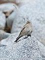 Black-winged Snowfinch (Montifringilla adamsi) (32073073817).jpg