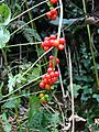 Black Bryony Berries - geograph.org.uk - 261621.jpg