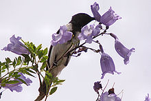 Male bird feeds on nectar from a Jacaranda flower