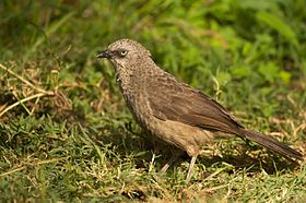 Black Lored Babbler.jpg