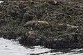 Black Oystercatcher Commonweal CA 2018-10-03 14-11-35 (45681710312).jpg