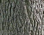 Black Walnut Bark Detail.JPG