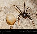 Black Widow with egg sac (Theridiidae, Latrodectus spp.) (26395368315).jpg