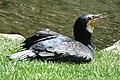 Black shag Black cormorant.JPG