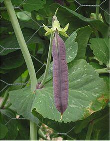 Field Pea Wikipedia
