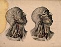 Blood-vessels of the head and neck. Coloured lithograph by Wellcome V0008527.jpg