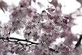 Blossom (4364736524).jpg