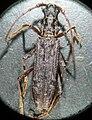 Blosyropus spinosus.jpg