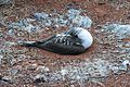 Blue-footed Booby (4885197350).jpg