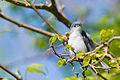 Blue-gray gnatcatcher (Polioptila caerulea) (17058691718).jpg