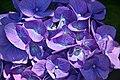 Blue Hydrangea macrophylla.jpg