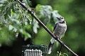 Blue Jay (4855702856).jpg