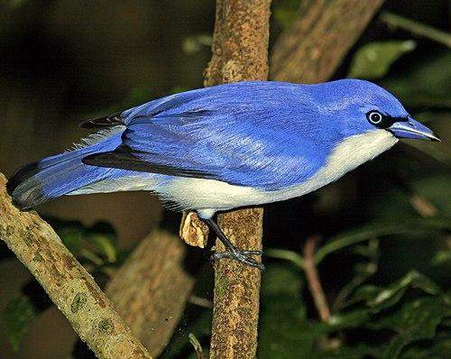 Blue Vanga