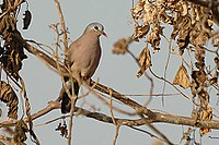 Blue spotted wood dove