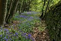 Bluebells by a wall, Brearley Wood - geograph.org.uk - 418647.jpg