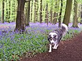 Bluebells in Cawston woods in May - geograph.org.uk - 344925.jpg