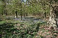 Bluebells in Osgodby Coppice - geograph.org.uk - 412177.jpg