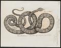 Boa hortulana - 1700-1880 - Print - Iconographia Zoologica - Special Collections University of Amsterdam - UBA01 IZ11900071.tif