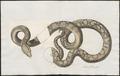 Boa schneiderii - 1734-1765 - Print - Iconographia Zoologica - Special Collections University of Amsterdam - UBA01 IZ11800229.tif