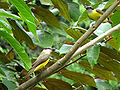 Boat-billed flycatchers.jpg
