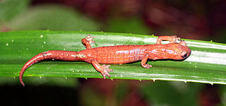 Celaque climbing salamander