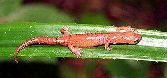 Celaque National Park - Bolitoglossa celaque, an endangered lungless salamander, endemic to Honduras.