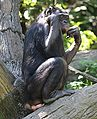 Bonobo6 CincinnatiZoo.jpg