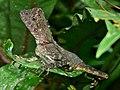 Borneo Forest Dragon (Gonocephalus bornensis) (6748124955).jpg