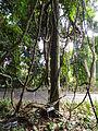 Botanical Garden of Peradeniya 16.JPG