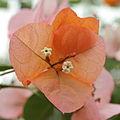 Bougainvillea × buttiana-IMG 4537.jpg