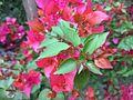 Bougainvillea glabra of Bangladesh 01.jpg