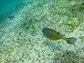 Boxfish Maledives (172176491).jpeg