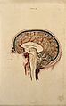 Brain; lateral section. Coloured line engraving by W.H. Liza Wellcome V0008409.jpg