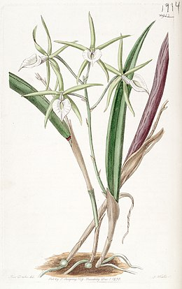 Brassavola subulifolia (as Brassavola cordata) - Edwards vol 22 pl 1913 (1836)