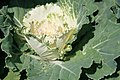 Brassica oleracea var. acephala White Pigeon 1zz.jpg