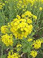 Brassica rapa subsp. oleifera, bladkool (8).jpg
