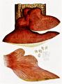 Bresadola - Fistulina hepatica.png