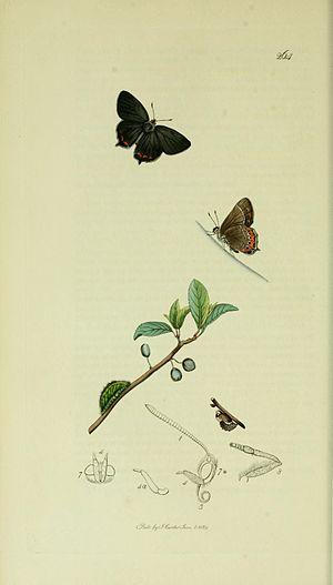 Black hairstreak - Illustration from John Curtis's British Entomology Volume 5