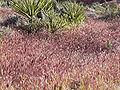 Bromus madritensis rubens in desert.jpg