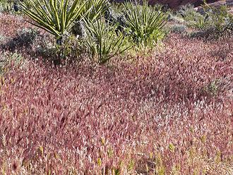 Bromus - Image: Bromus madritensis rubens in desert