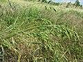 Bromus secalinus subsp. decipiens sl5.jpg
