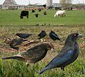 Bronze Cowbird From The Crossley ID Guide Eastern Birds.jpg