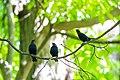 Brown-headed cowbird (34241843931).jpg