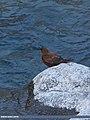 Brown Dipper (Cinclus pallasii) (15275483453).jpg