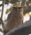 Brown Fish Owl (8566795379).jpg