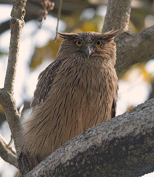 File:Brown Fish Owl (8566795379).jpg